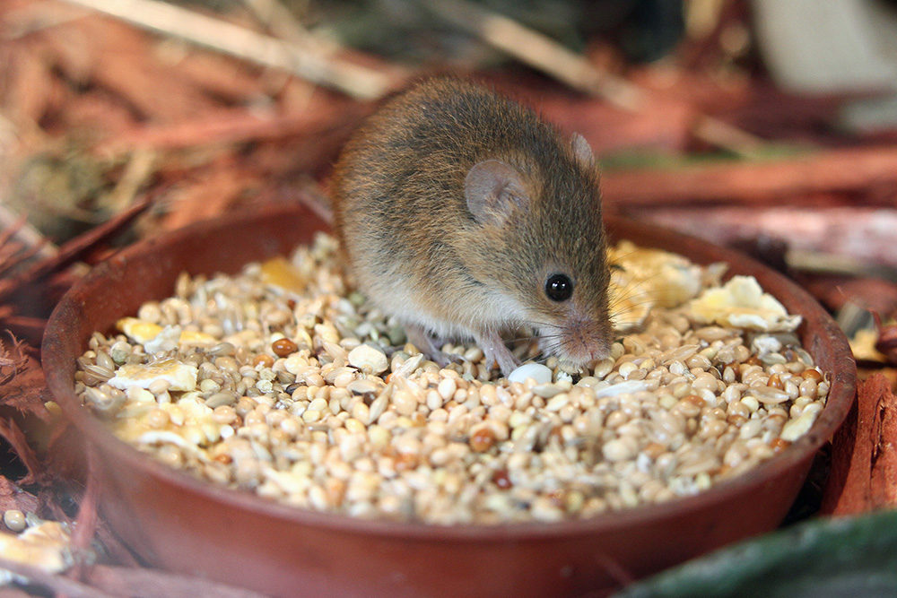 HarvestMouse1
