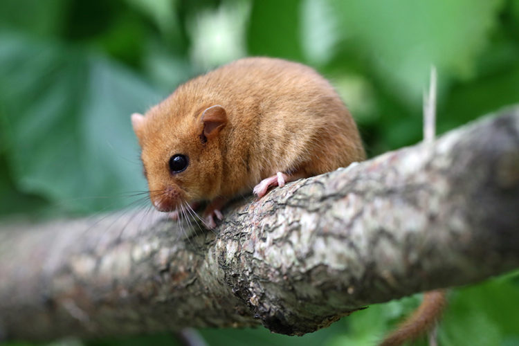 Dormice pups bring new hope for the species in the UK