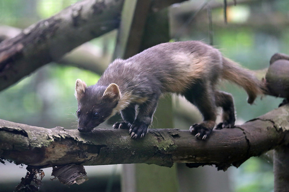 PineMarten2
