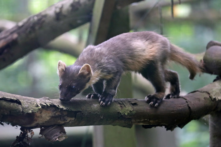 Urgent action is needed now to save the beautiful, but critically endangered pine marten