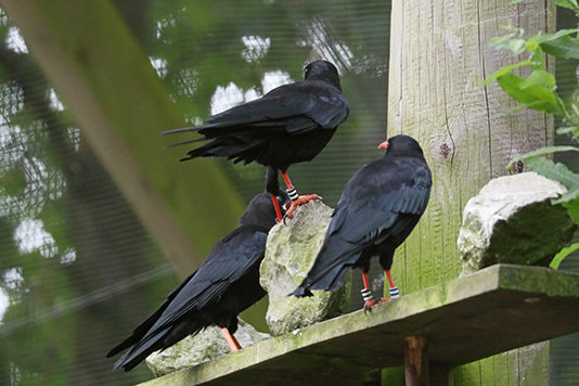 Red_Chough