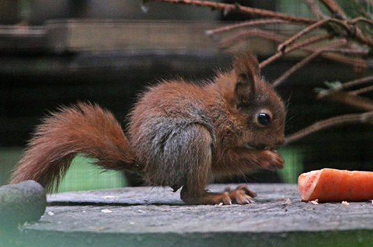 Red_Squirrel_Baby