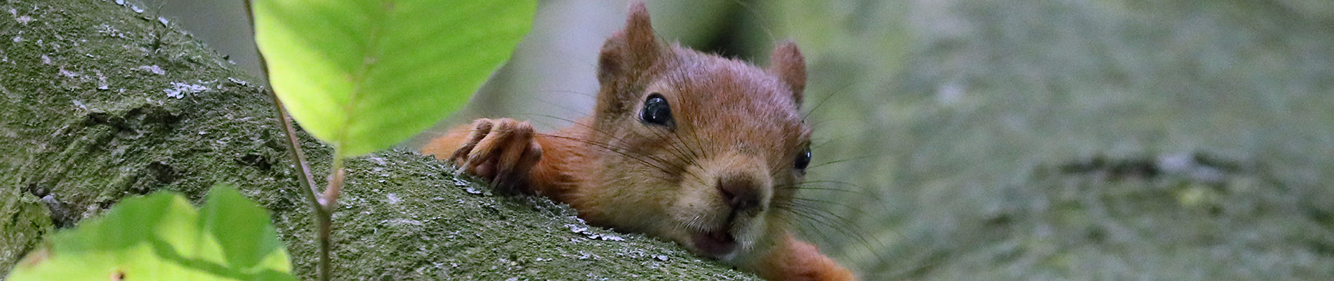 Red_Squirrel_Banner