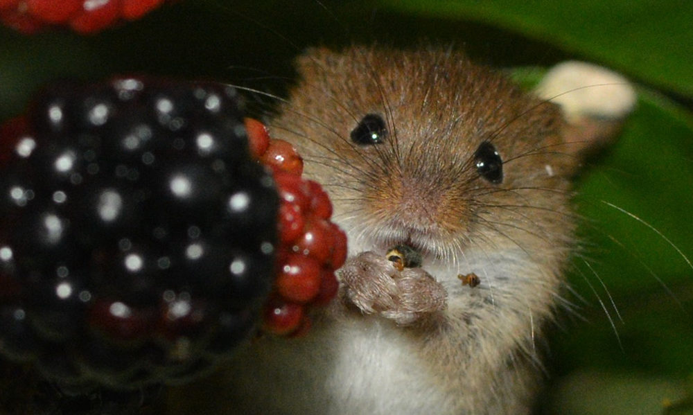harvest mouse ecology