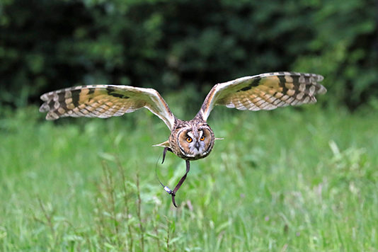 owl_flight