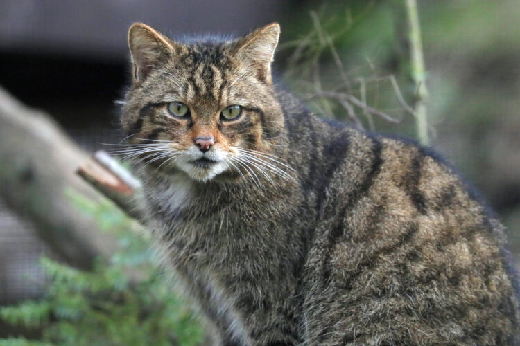 New Partnership to Restore Native Wildcats to Britain